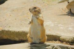 Free Cute Prairie Dog Royalty Free Stock Image - 41460816