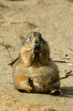 Cute prairie dog Royalty Free Stock Image