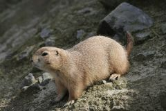 Cute Prairie Dog on Alert. At local Zoo stock images