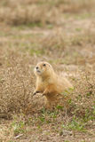 Cute Prairie Dog Stock Photo