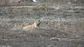 Cute Prairie Dog at Burrow Stock Photography