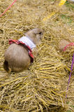 Cute prairie dog dressed up with haycock dry grass Stock Image