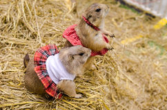 Cute prairie dog dressed up with haycock dry grass Royalty Free Stock Photography