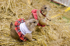 Cute prairie dog dressed up with haycock dry grass Royalty Free Stock Image