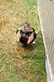 Cute prairie dog dressed up with haycock dry grass Stock Photos