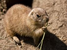 Cute prairie dog eating grass Royalty Free Stock Image
