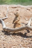 Cute Prairie Dog Stock Photography