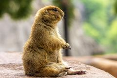 A cute prairie dog sitting on the ground. A prairie dog genus Cynomys sitting up on ground. This species is a type of ground squirrel, herbivorous burrowing Royalty Free Stock Photo