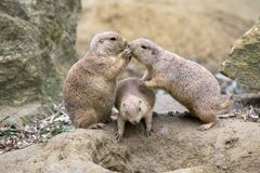 Cute prairie dogs. Kissing each other royalty free stock photography