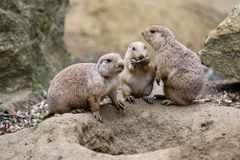Cute prairie dogs. A family of Cute prairie dogs royalty free stock images