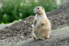 Cute prarie dog Royalty Free Stock Images