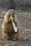 Cute prarie dog Royalty Free Stock Photo