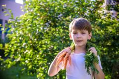 Cute preschool blond little kid boy with carrots in domestic garden. Child gardening and eating outdoors. Healthy organic stock image