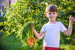 Cute preschool blond little kid boy with carrots in domestic garden. Child gardening and eating outdoors. Healthy organic royalty free stock images
