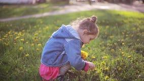 Cute pretty girl making bouquet of dandelions on a sunny day. Beautiful little lady choosing best flowers. stock video