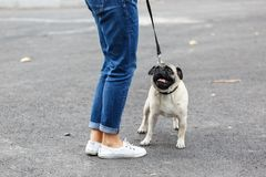 Beautiful cutie dog walking with owner outdoors. Pet concept. Cute pretty mops having fun with owner on the street. Dog and owner walking on the nature royalty free stock images