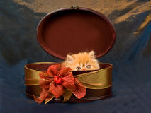 Cute pretty Persian kitten in box Stock Photos