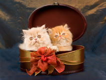 Cute pretty Persian kittens in box. Pretty cute Persian kittens sitting inside oval gift box on shiny blue bronze background fabric royalty free stock photos