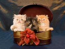 Cute pretty Persian kittens in gift box. Pretty cute black copper eyed Persian kittens sitting inside oval gift box decorated with ribbon and bow, on shiny stock photography