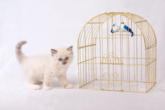 Cute pretty Ragdoll kitten with birdcage Stock Image
