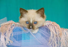 Cute pretty Ragdoll kitten in gift box Stock Photos