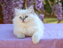 Cute pretty Ragdoll kitten with wisteria flowers royalty free stock photo