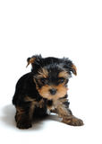 Cute pretty Yorkshire terrier puppy dog Royalty Free Stock Photography