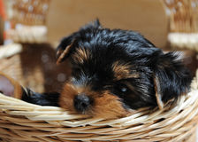 Cute Pretty Yorkshire Terrier Puppy Dog Royalty Free Stock Photos