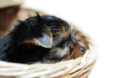 Cute pretty Yorkshire terrier puppy dog Royalty Free Stock Images