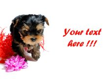 Cute pretty Yorkshire terrier puppy dog sitting Stock Images