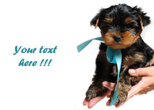 Cute pretty Yorkshire terrier puppy dog sitting Royalty Free Stock Image