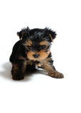 Cute pretty Yorkshire terrier puppy dog sitting Royalty Free Stock Photos