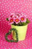 Cute primrose pot Royalty Free Stock Image