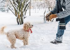 Snowball fight fun with pet and his owner in the snow. Winter holiday emotion. Cute puddle dog and man playing and running in the forest. Film filter image stock photography
