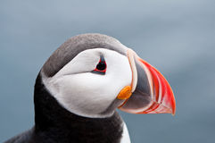 Cute puffin bird close up portrait. From small distance Stock Image