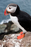 Cute puffin bird close up portrait Royalty Free Stock Photos