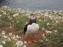 Cute puffin stock images