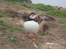 Cute puffin stock image