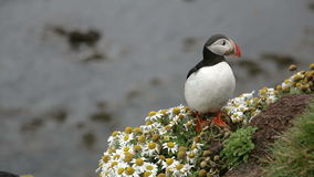 Cute puffin on the rocks in iceland stock video footage
