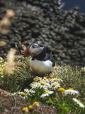Cute puffin sitting near chamomiles at Latrabjarg Bird Cliffs. In Iceland royalty free stock photography