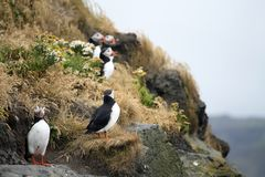 Cute puffins on cliff Stock Photo