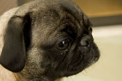 Cute Pug Stock Photography
