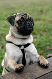Cute pug Royalty Free Stock Photography