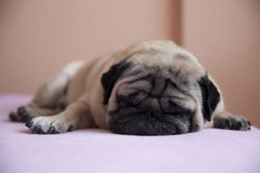 Cute pug royalty free stock images
