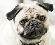 Cute Pug Stock Images