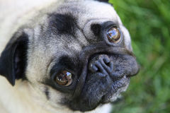 Cute Pug. A portrait of a cute innocent looking pup dog stock photography