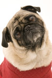 Cute Pug in Costume Stock Photo