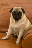 Cute Pug on Couch Stock Image