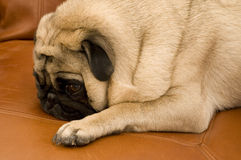 Cute Pug on Couch Stock Images