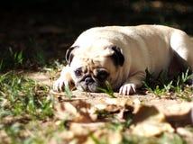 Free Cute Pug Dog Stock Photo - 82173290